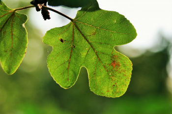 Fig Leaves A Natural Ulcer Remedy
