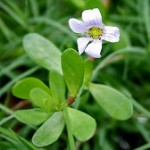 7 Health Benefits of Bacopa Monnieri