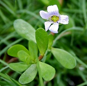 Health Benefits of Bacopa Monnieri