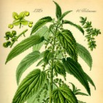 8 Health Benefits of Stinging Nettle