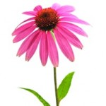 6 Health Benefits of Echinacea