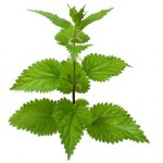 Side Effects of Stinging Nettle