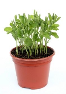 Health Benefits of Pea Shoots