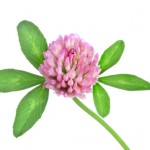 6 Health Benefits of Red Clover
